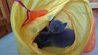 Помет от 06 12 2018/Шурщащий туннель. Игры британских котят.