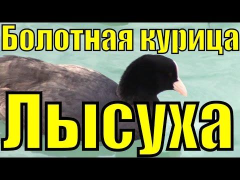 ЛЫСУХА - Болотная курица / Лысуха чёрная царица / Водоплавающие птицы
