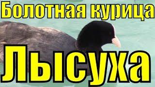 видео Утка гагара