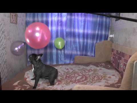 Щенок французского бульдога пытается отвоевать свою
