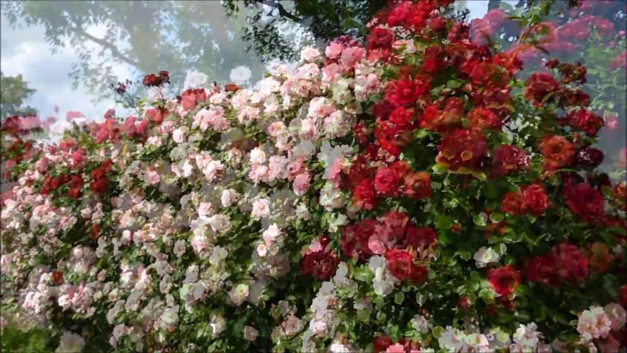 Il giardino delle rose youtube - Il giardino delle rose ...