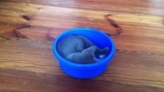 Alma w misce / kot rosyjski niebieski / Alma russian blue cat play in the bowl