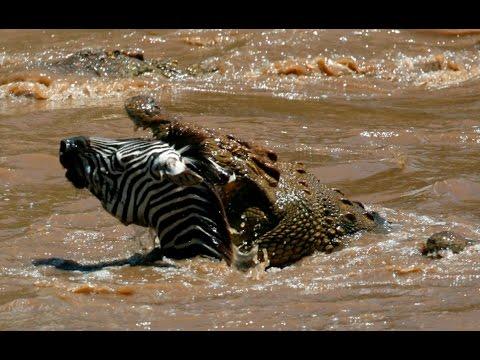 Billabong King Crocodile