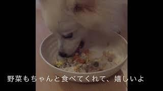 Japanesespitz Lemon  <カラフルご飯> わたちレモン  白もふ 白もふ犬...