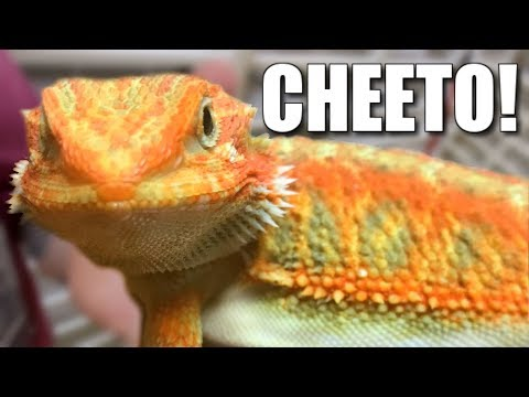 GETTING AN INSANELY ORANGE RARE BEARDED DRAGON FOR THE REPTILE ZOO!!  | BRIAN BARCZYK