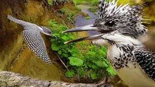 Зимородок пегий большой - жизнь на Курильских островах   Film Studio Aves