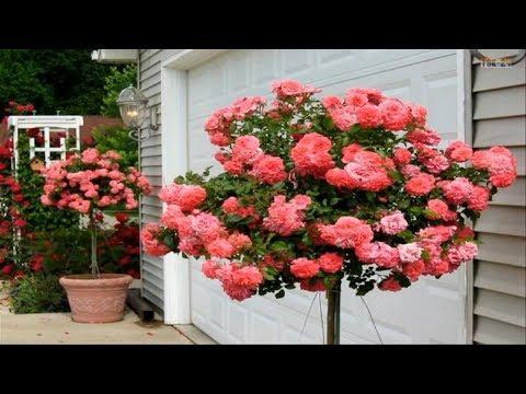Beautiful Rose Garden - The Most Beautiful...