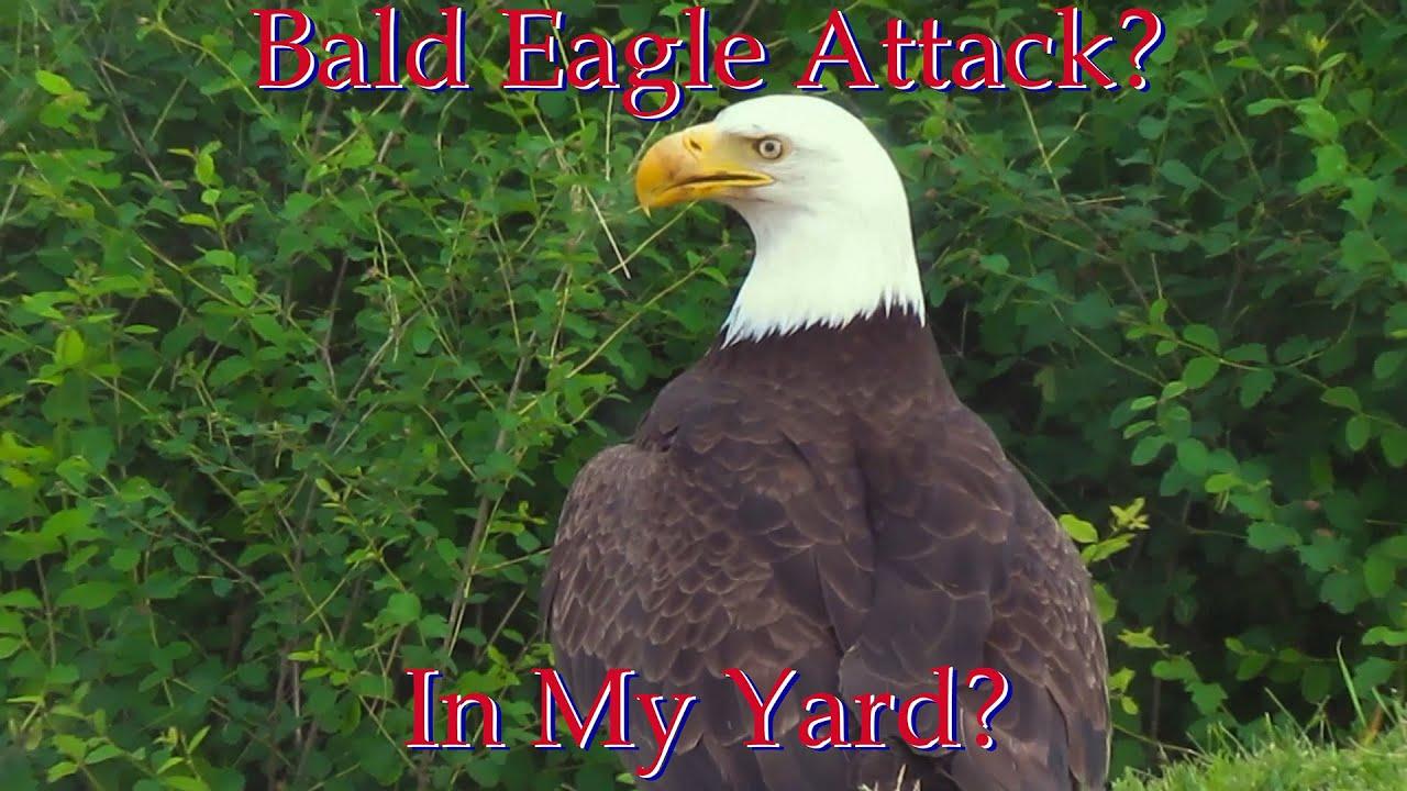 Bald Eagle Attack?  In My Yard?