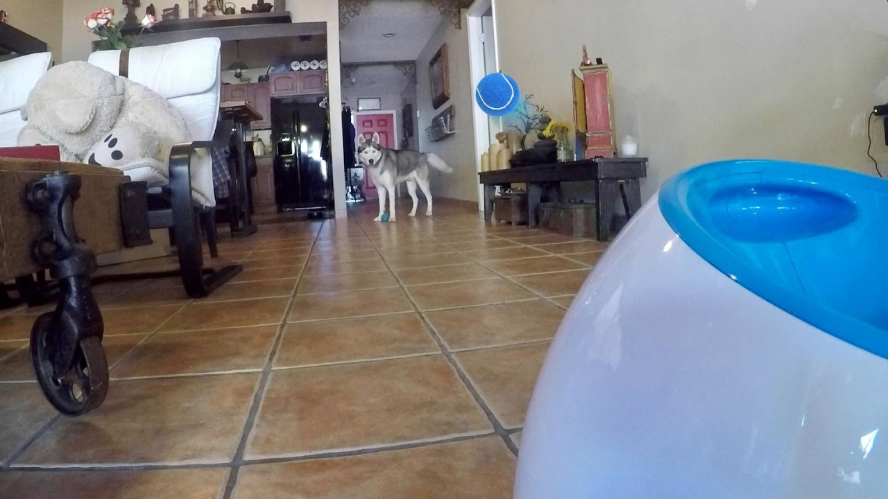 Husky Plays With iFetch Automatic Dog Ball Launcher!