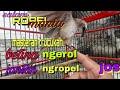 Masteran Trucukan Betina Ngerol Jantan Ngropel Klituk Klituk Joss  Mp3 - Mp4 Download