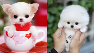 Cutest Teacup Puppies Video Compilation || Funny and Cute Dog