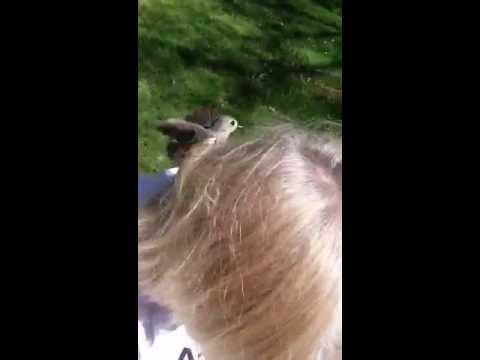 Bird stealing hair for nest