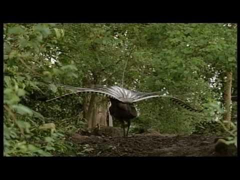 Unbelievable mimicker bird - Superb Lyrebird