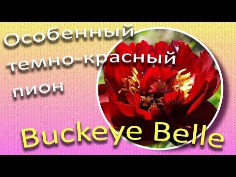 BUCKEYE  BELLE - особенный темно-красный пион / Сад Ворошиловой