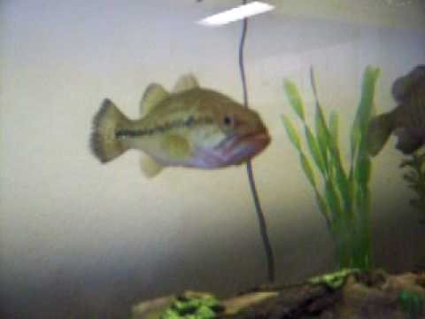 Awesome largemouth bass in fish tank and bluegill fishing for Bluegill fish tank