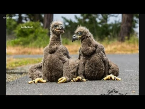 Neighborhood Watch Formed For Baby Eagles