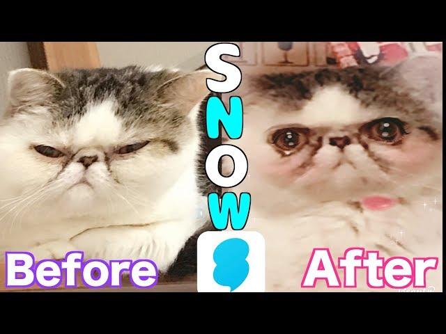 【検証】SNOWでブス猫はどこまで可愛くなるのか!?【エキゾチックショートヘア】
