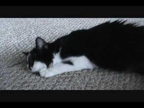 kitten in heat  youtube