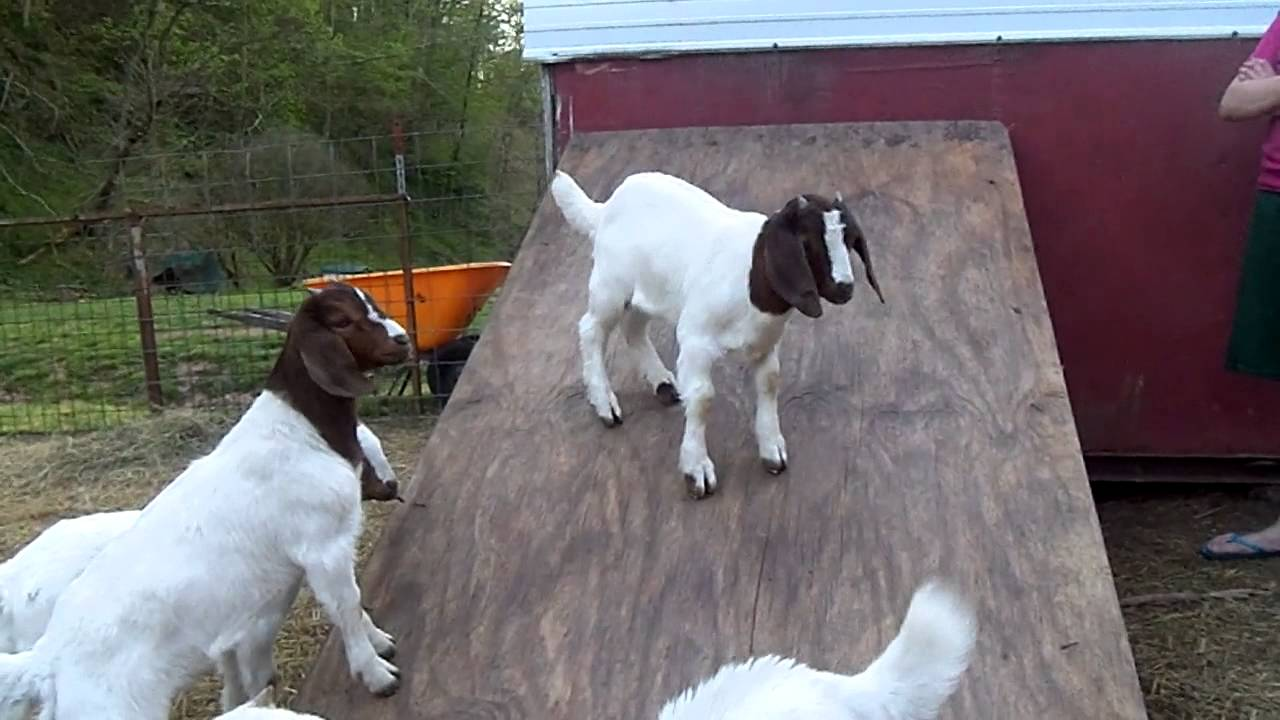 Get off my slide!!- baby boer goats playing. - YouTube