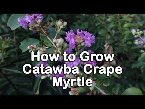 How to grow Catawba Crape Myrtle (Semi-Dwarf Purple Crape Myrtle)