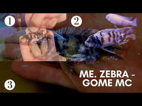 Metriaclima Zebra - Gome Rocks MC (Marmelade Cat) Transformation