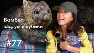 видео Вомбат