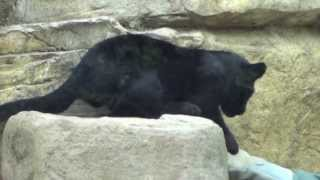 2014.3.8 神戸市立王子動物園にて撮影。 生後3ヶ月くらいの黒色ジャガ...