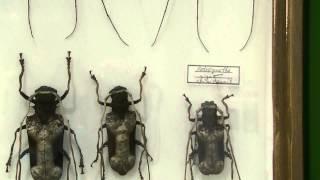 アフリカの大型カミキリムシ:コンフサスオオキバカミキリ・アフリカシロスジカミキリ・ハイエシオオウスバカミキリ