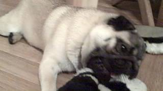 Frankie The Pug And My Slipper