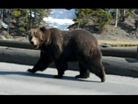 Close Encounter With a Grizzly Bear at Yellowstone Park