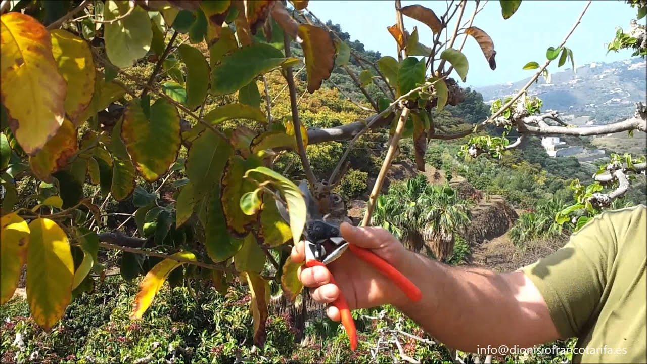 control cosecha mediante poda chirimoya cherimoya