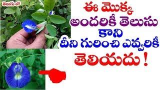 ఈ మ క క గ ర చ త ల స త   clitoria ternatea or sanku pushpam plant uses by telugu world visite