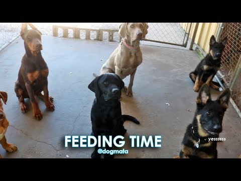 Feeding Time at Dogmata - Nine Dogs & Puppies Eating Together