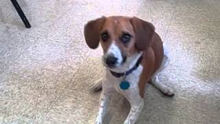 Adopted * Beagle/jack Russell Juvenile, Daphine. She Loves Doing Tricks For Treats! * Bideawee Nyc