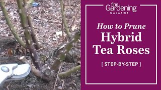 How to Prune Hybrid Tea Roses