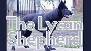 Lycan Shepherd: The New Emerging Dog Breed