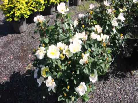 Colorful Knockout Roses In Partial Shade Youtube