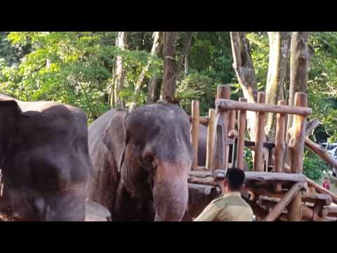 Gajah kawin di taman safari
