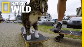 Skateboarding Cat Does Tricks | Kitten Impossible