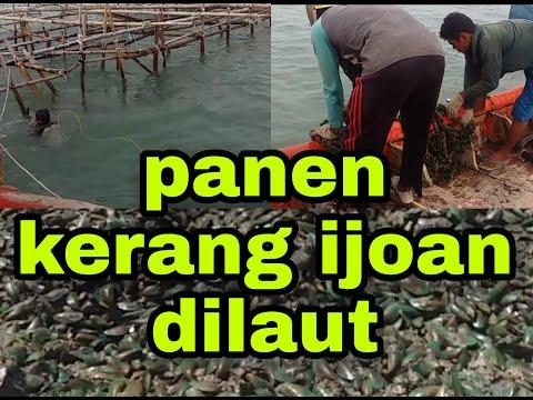 Panen Kerang Hijau Dilaut Modal 3 Juta Jadi Puluhan Juta Wooww..