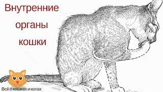 Внутренние органы кошек