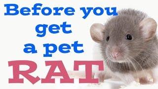 Before You Get Pet Rats