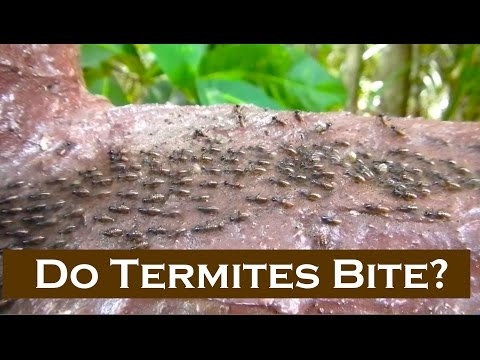 Can Termites Bite People or Animals? - Termites Will Bite If ...