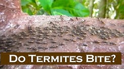 Do Termites BITE? (Thailand Living)