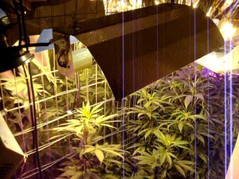 Led Grow Lights Mixing The Lights Helps Medical Marijuana Indoors