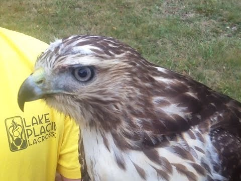 Meet A New York State Falconer And His Red Tailed Hawk Youtube
