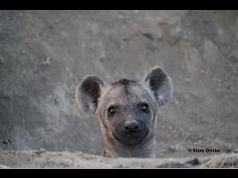 Hyenas And Cubs At Den - 20 March 2013 - Latest Sightings