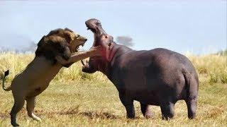 Лев охота Бегемот, Битва выживания Бегемотов, Большая битва против льва - Мир животных