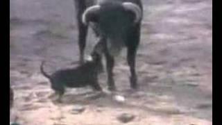 Un Bullterrier Ingles Contra Un Toro