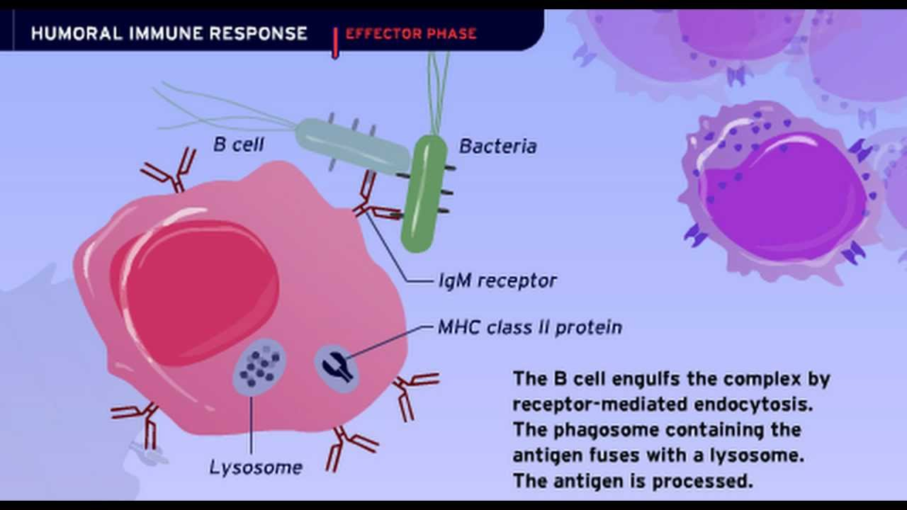 The Humoral Immune Response - YouTube